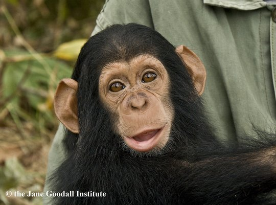 Give Orphaned Chimpanzees More Room To Roam!