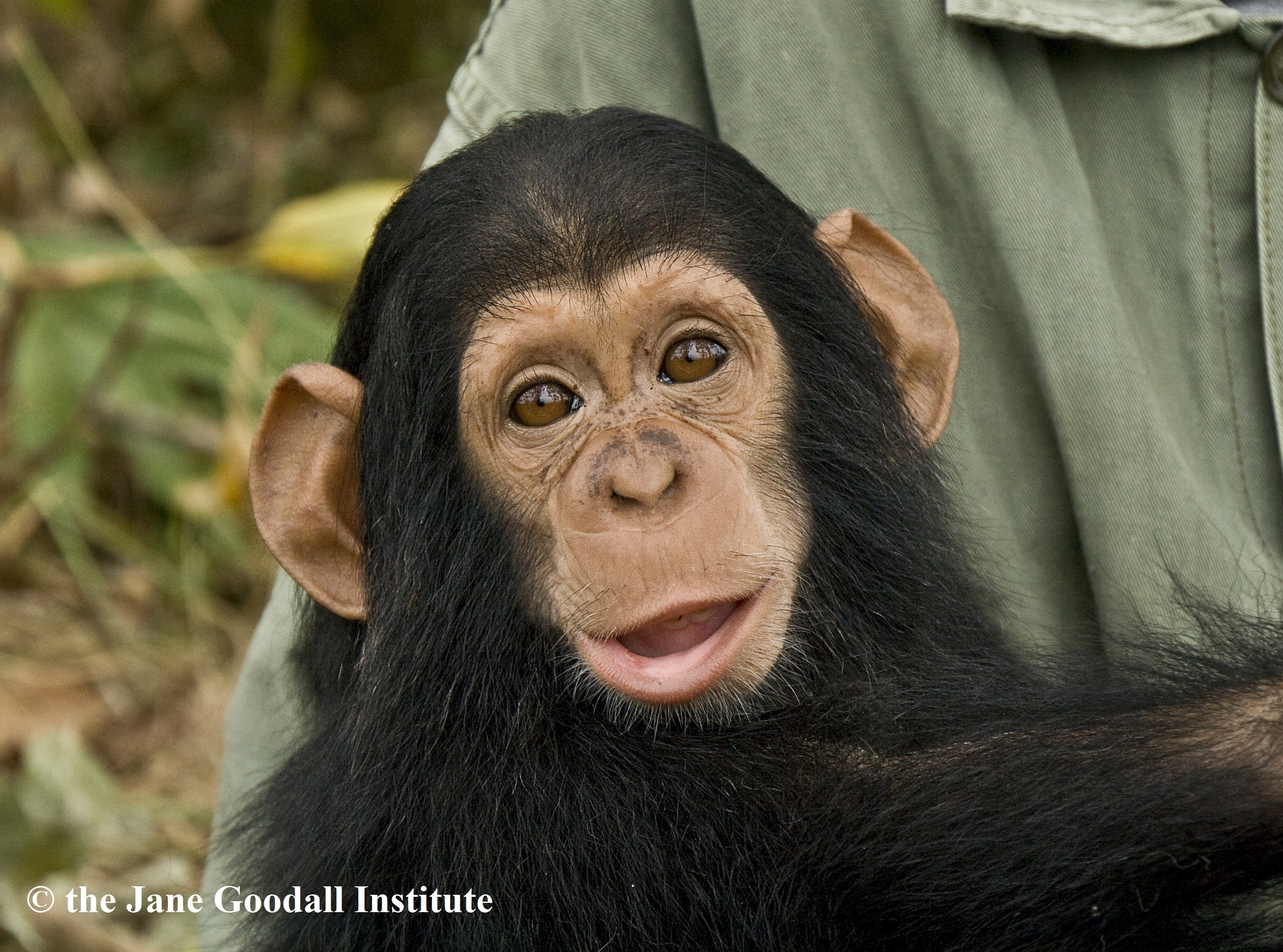 give orphaned chimpanzees more room to roam   globalgiving