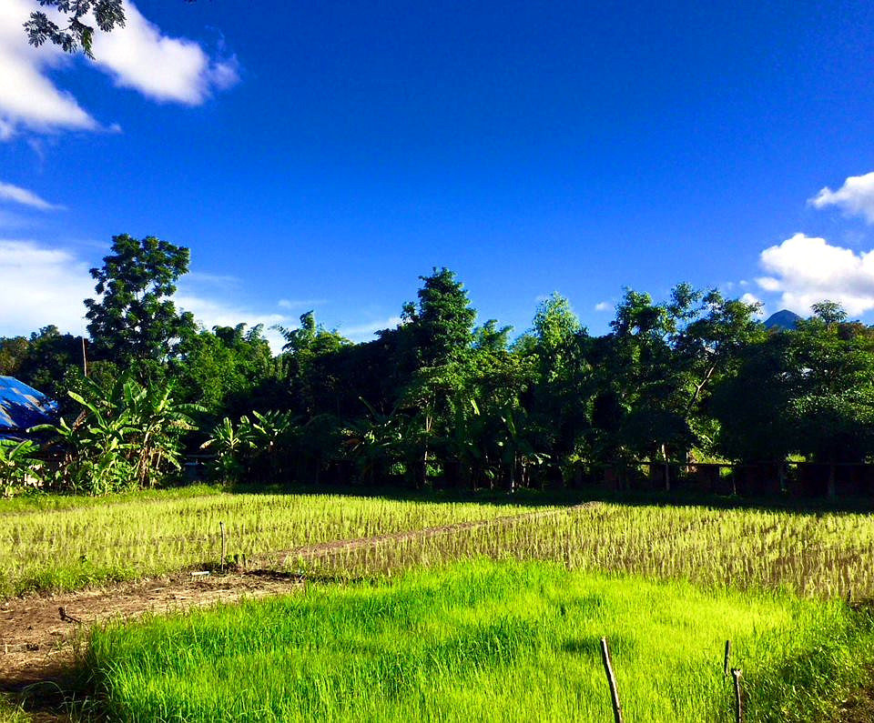 The new rice fields under bright sunshine