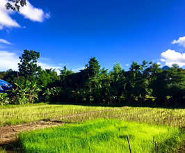 The new rice fields under bright sunshine