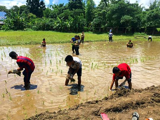 Replanting the rice saplings