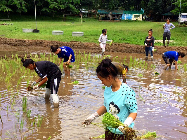 Replanting the rice saplings