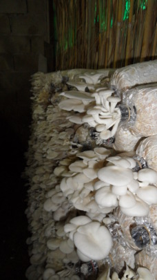 Inside the mushroom farm before harvest