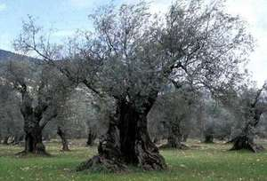 Revitalizing Olive Oil Farming in the West Bank