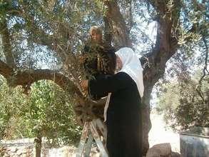 Olive Oil Potential for Women's Livelihoods