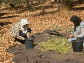 Sorting Olives -- A Traditional Women's Work