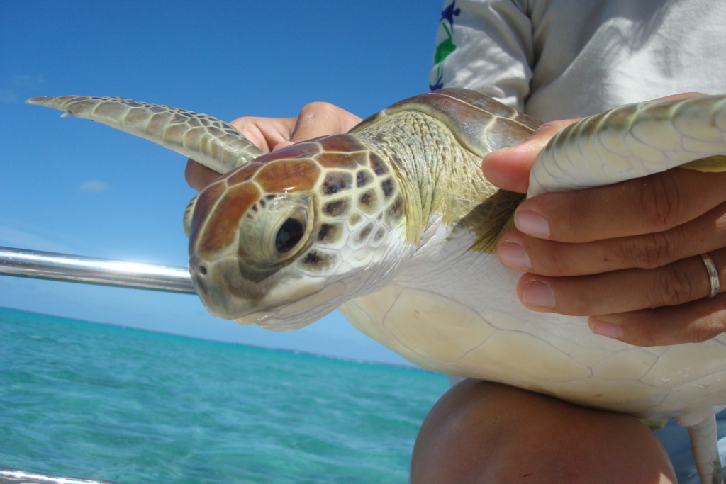 A sea turtle is captured for measurements