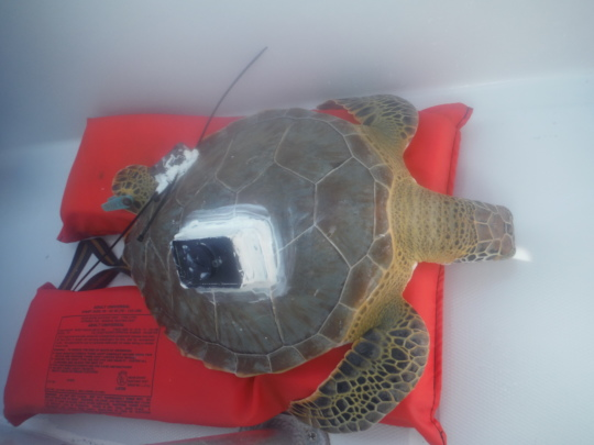 A tracking device is affixed to a turtle