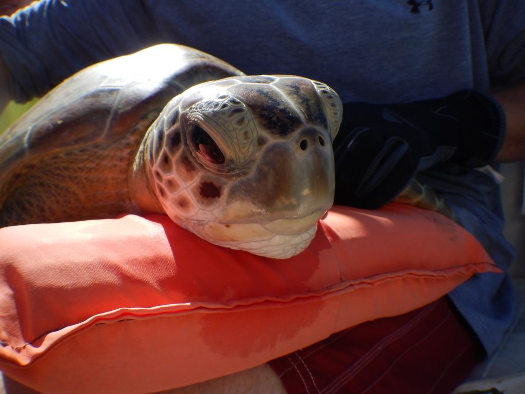 A sea turtle awaits measurements