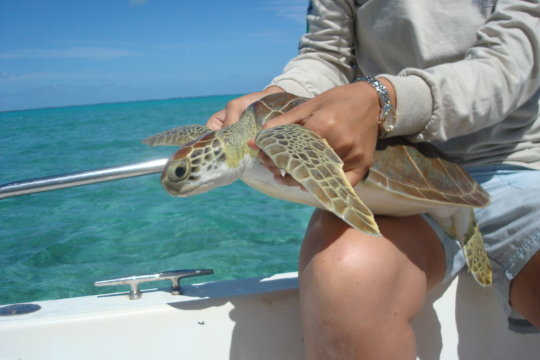 A captured sea turtle gets ready to be released