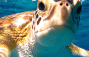 Saving Sea Turtles in the Bahamas with Earthwatch