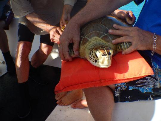 Measuring a Captured Sea Turtle