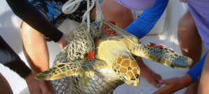 A sea turtle is weighed aboard the research boat