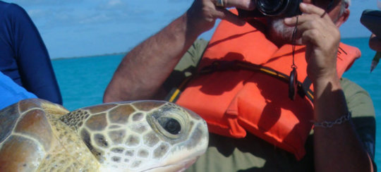 A green sea turtle is gently captured and measured
