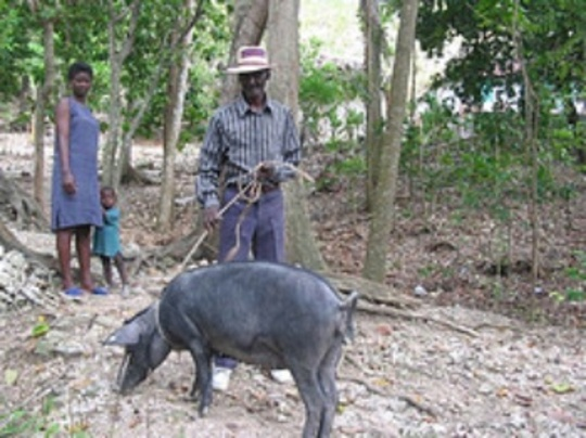 Haitian Family taking care of their pig