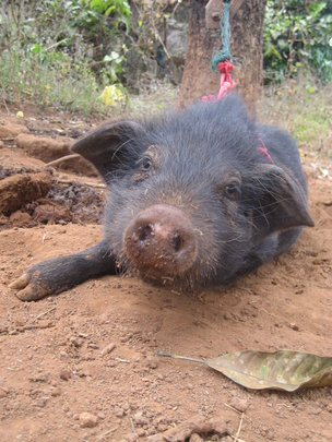 Donate a Pig: Invest in Haiti's Future