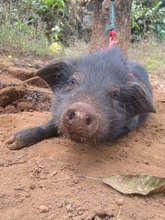 Donate a Pig: Invest in Haiti's Future