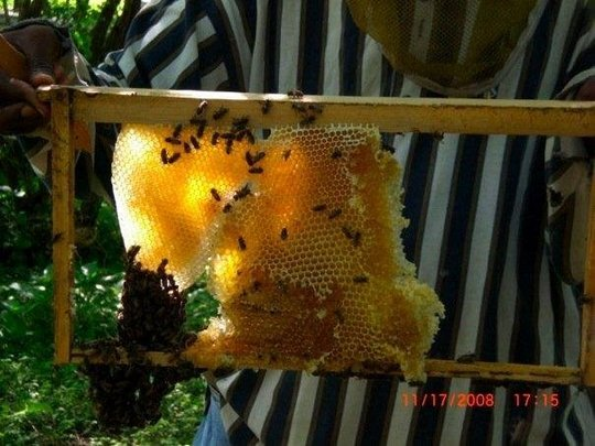 Honey Comb attached to frame