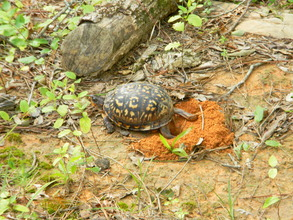 Unmarked turtle digging the hole