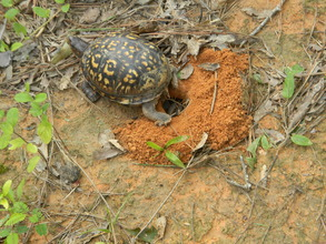Unmarked turtle nesting with eggs