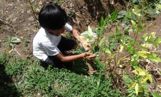 A 4th grade pupil tends soy beans in school garden