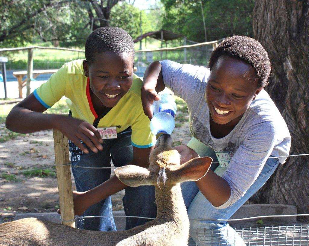 Feeding Maxi, the bushbuck