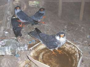 Falcons kept alive to be sold