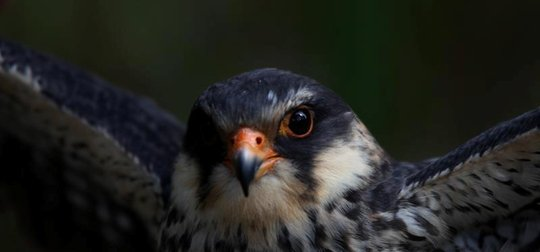 Stopping the Slaughter. Save the Amur falcon