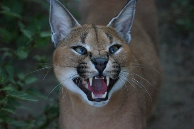 Caracal, Shangaan - happy cat as ever!