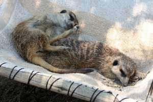 Gasper and Tiki sunbathing in their new hammock.