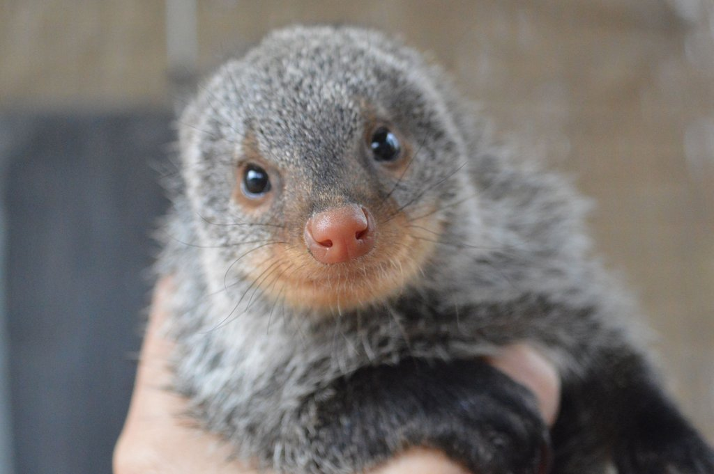 A smile from our Mongoose, Bandit.