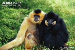 Gibbons in Seima Protected Forest