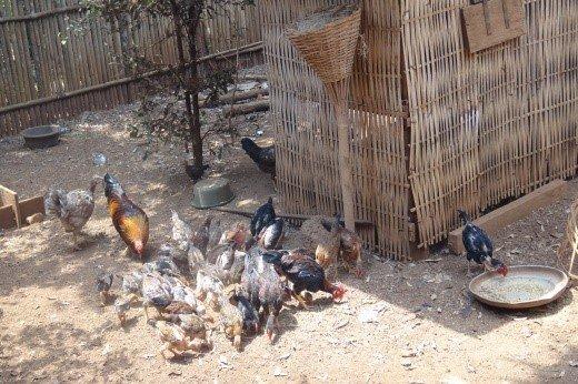 Chicken farm of Channry