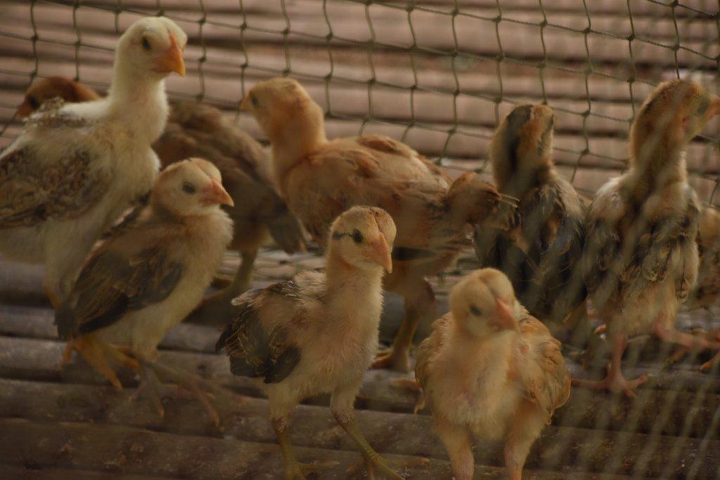 Chicken raising in Saob Kroum Village