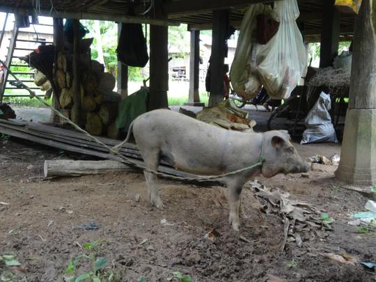 Pig of Ms. Nea after 5 months raising
