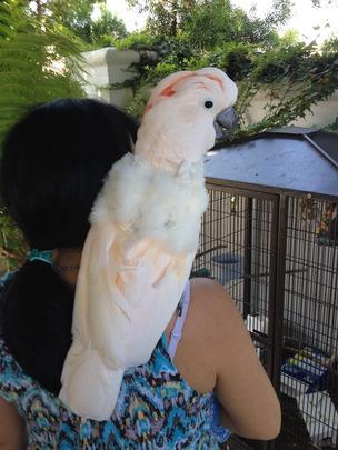 Mia-Moluccan Cockatoo