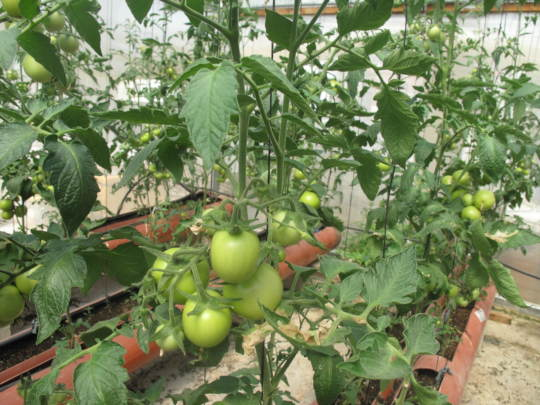 Beautiful harvest growing in the greenhouses