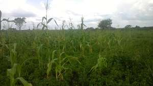Corn fields planted by the youths