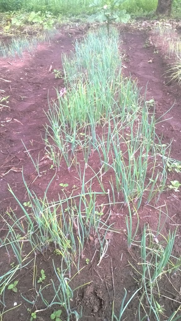 Onions planted on land with newly purchased oxen
