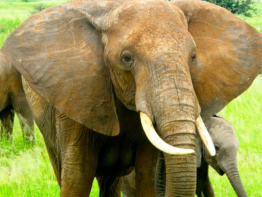 Save Elephants & End Poaching in Tanzania
