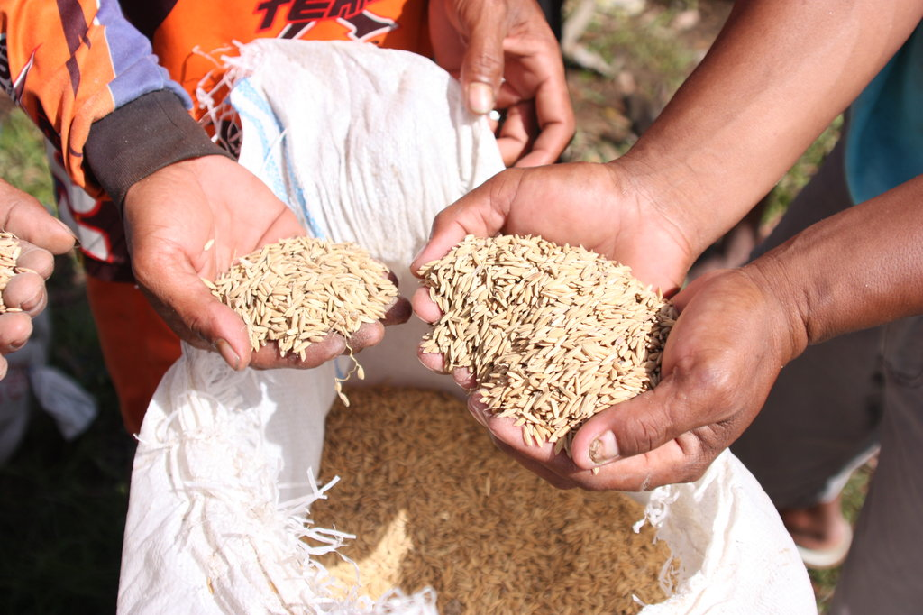 Rice seeds for agricultural assistance