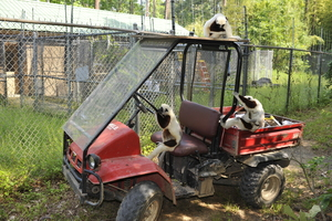 Lemurs in need of new transport!