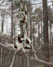 Lemurs loving the forest in February