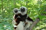 Help Expand Forest Areas for Endangered Lemurs
