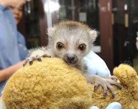 Baby Zuberi the crowned lemur
