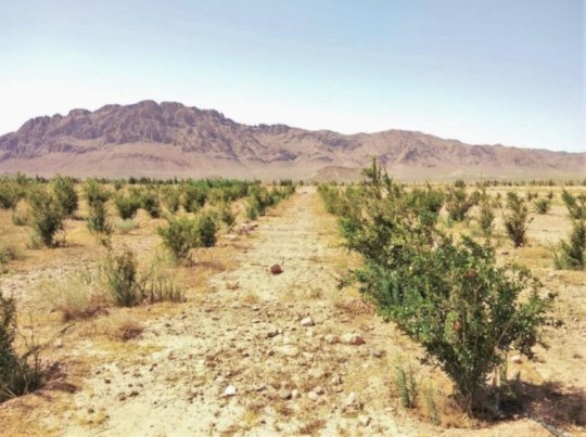 Young fruit trees growing in the Atlas Mountains