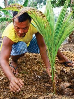 Replanting coconut trees in work project, Leyte