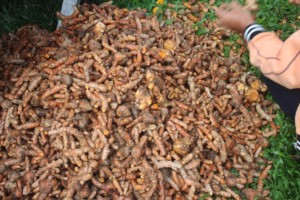 A harvest of turmeric