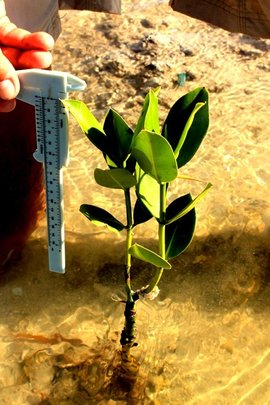 The ideal growth pattern for a mangrove seedling