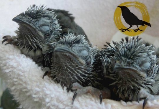 Chimney Swifts after double rescue.